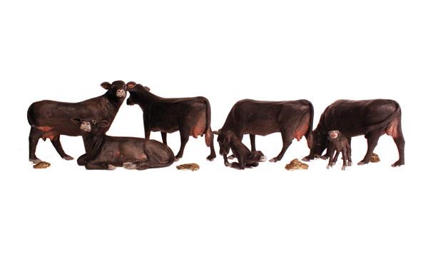 Black Angus Cows