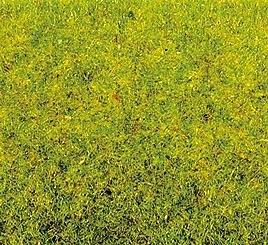 Frühlingswiesen-Gras